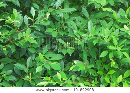 Green banyan leaf wall.