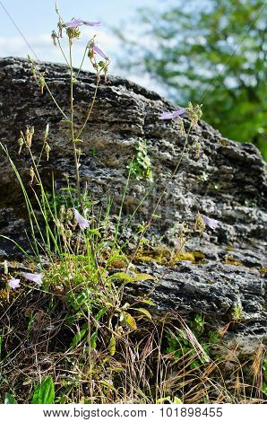 Flower Growing In A Rock Crevice