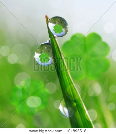 Fresh dewy green grass with clover leaf