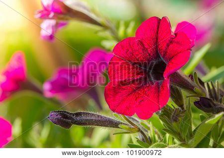 Bright Pink Petunia Flowers Close-Up