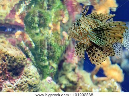 big tiger grouper under sea water