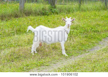 White Goat In The Village