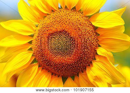 Yellow sunflower close up.