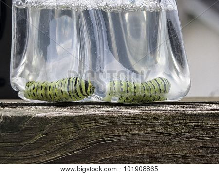 Parsley Worms