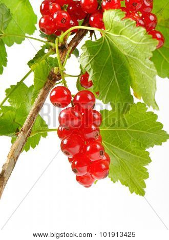 detail of fresh red currant cluster on the branch