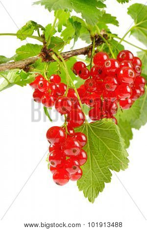 branch with clusters of fresh red currant