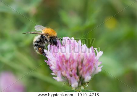 Pollination - Bumble-bee In Bloom