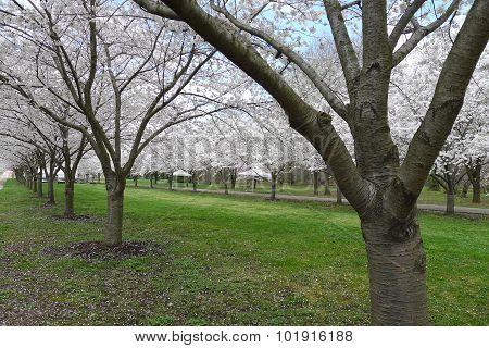 Cherry Blossom at Fairmount Park Horticulture Center