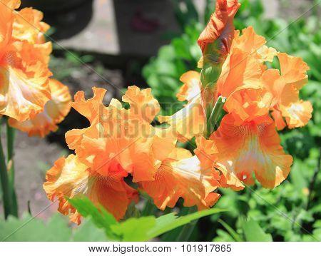 Iris Yellow Orange Flower, Plant, Latin Name Iris, Outdoors