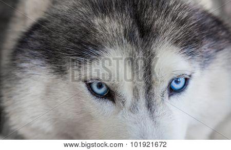 Close up on blue eyes of siberian dog