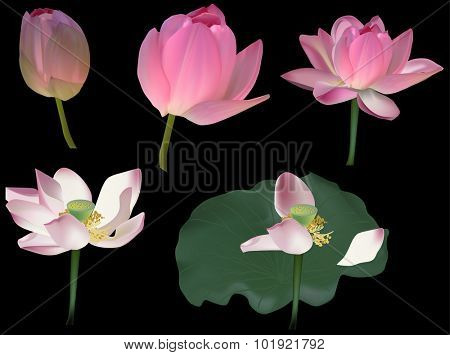 illustration with lotus flowers isolated on black background
