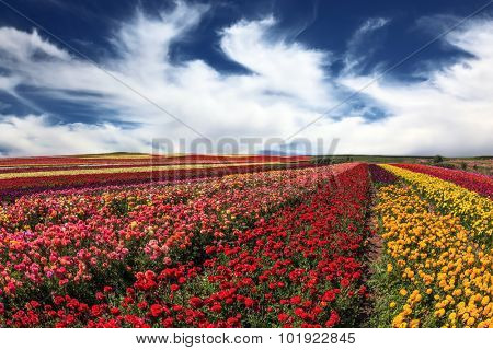 Bright festive red, pink and yellow  blooming field of buttercups. Cloudy and windy spring day