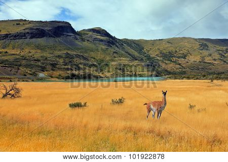 Curious llama watching the road. National Park Torres del Paine in southern Chile