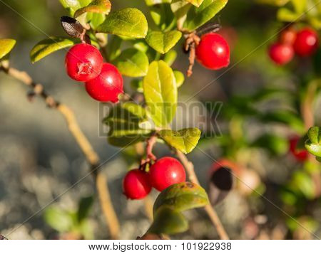 Bush Of Lingonberry Closeup