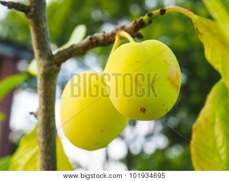 Two Green Ripe Plums On Closeup