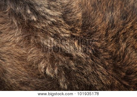 Brown bear (Ursus arctos) fur texture. Wild life animal.