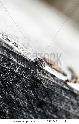 Zebra Jumper Spider