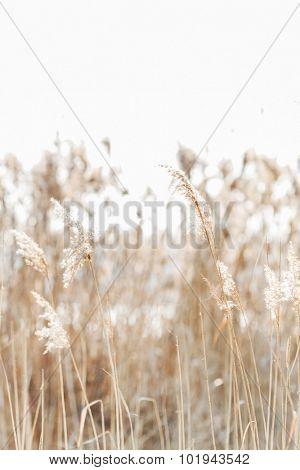Seedy reed stalks
