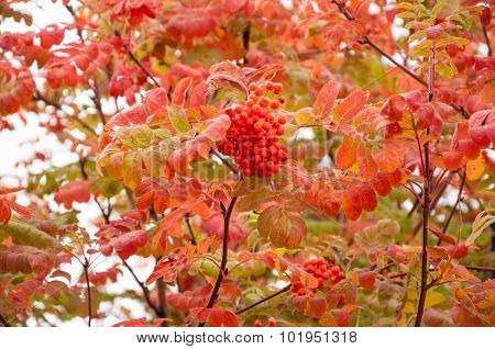 Autumn Fruits Of Rowan