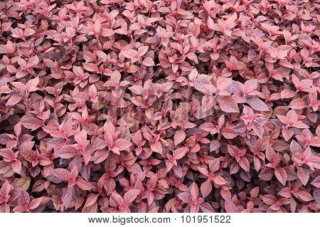 Organic Purple Amaranth Tree, Spinach In Nature