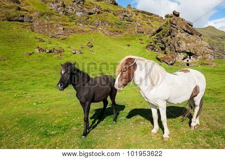 White And Black Icelandic Horses In Nature