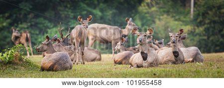 Herd of the Sambar deers. Panorama