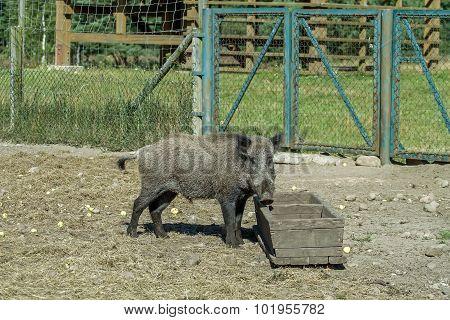 Hog At The Trough
