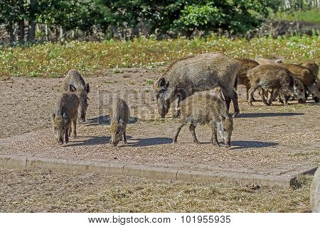 Wild Boars Family Walks