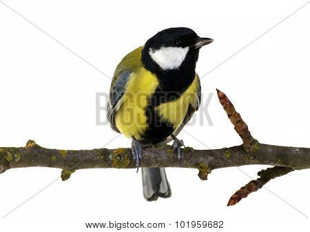 great tit on a branch isolated on white