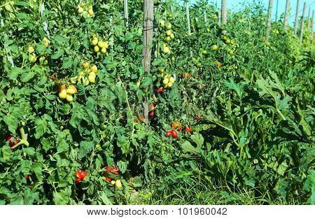 Tomato Plant With Ripe Fruits In Summer