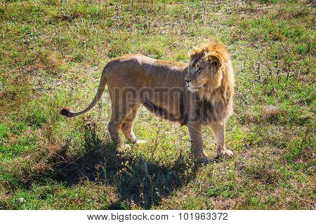 Lion Pride In Nature