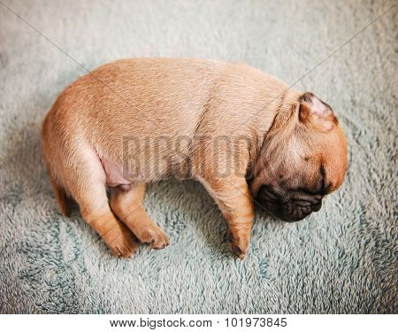 tiny baby pug chug mix newborn puppy sleeping on a blanket