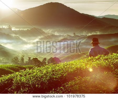 Tea Plant Harvest Hill Mountain Gardener Concept