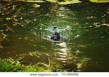 Black Labrador Swimming In The River