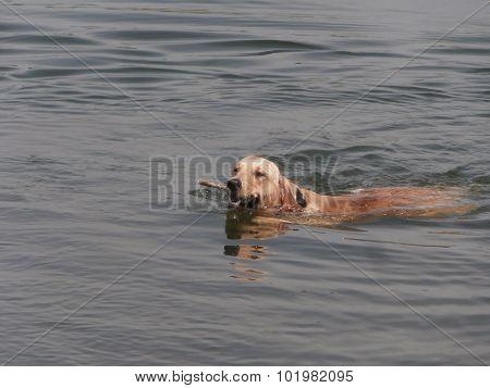 Labrador Retriever Dog In Water