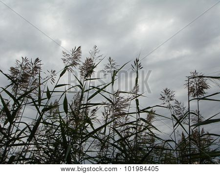 Common reed against evening sky