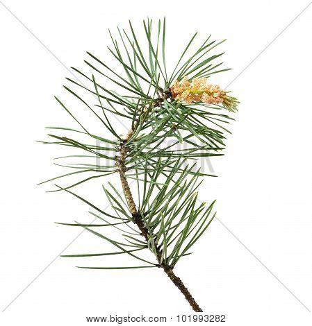 Pinus Sylvestris Branch