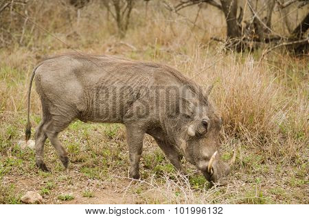 warthog eating