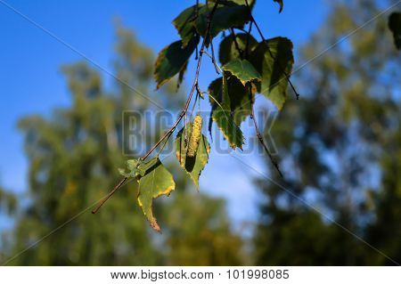 A Tree Branch With A Catkin And Leaves