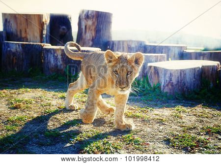 Little lion cub in nature and wooden log.