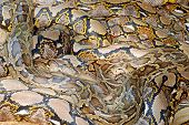 stock photo of burmese pythons  - reticulated and burmese pythons together at a zoo
