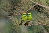 Постер, плакат: Little Green Bee eaters Couple Courtship At Goa Beach India