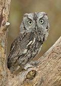 picture of screech-owl  - A Capture of an alert Eastern Screech Owl - JPG