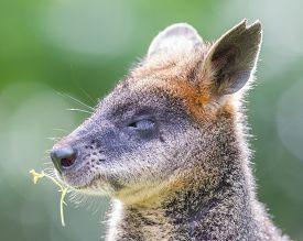 stock photo of wallabies  - Kangaroo - JPG
