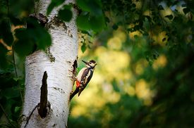 image of woodpecker  - Great spotted woodpecker on birch tree next to hole in spring with yellow and green background - JPG