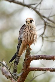 picture of falcons  - Red footed falcon resting on a branch in its habitat - JPG