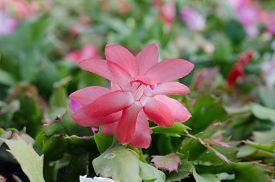 foto of schlumbergera  - Close up Christmas Cactus  - JPG