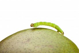 stock photo of inchworm  - Macro of looper climbing on green pear isolated on white - JPG