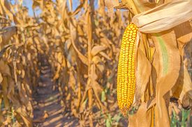 stock photo of corn cob close-up  - Corn field harvest ready mature corn cob ear on stalk in cultivated maize field close up with selective focus - JPG