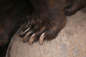 picture of claw  - Brown bear  - JPG